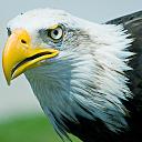 زندگی عقاب وحشی